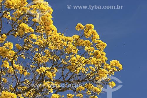 Assunto: Ipê-amarelo-do-cerrado (Tabebuia aurea) em plena floração - Parque Nacional da Chapada dos Veadeiros / Local: Goiás (GO) - Brasil / Data: Julho de 2007