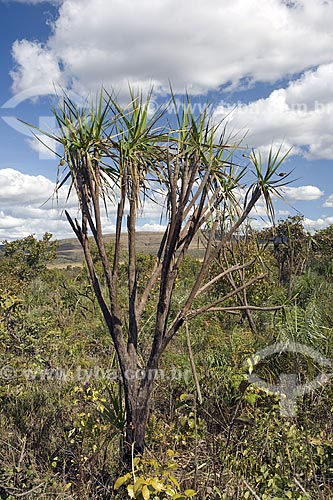 Assunto: Vellozia sp. no Cerrado do PARNA (Parque Nacional) Chapada dos Veadeiros / Local: perto de Alto Paraíso - Goiás (GO) - Brasil / Data: Junho de 2006
