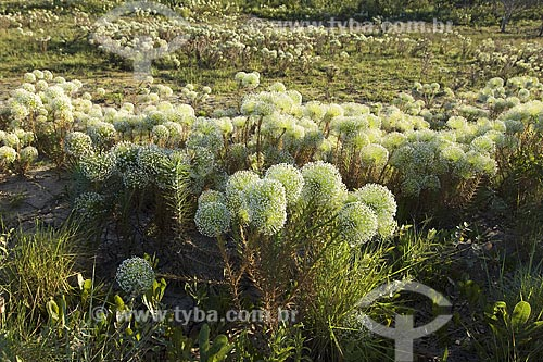 Assunto: Grande formação de Paepalanthus sp. na estrada Ponte Alta do Tocantins - Mateiro, na época seca, no caminho para o Jalapão / Local: Tocantins (TO) - Brasil / Data: Junho de 2006