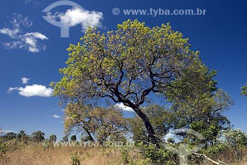 Assunto: Árvore do Cerrado, na serra do Lajeado, perto de Palmas / Local: Tocantins (TO) - Brasil / Data: Junho de 2006