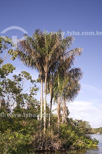 Assunto: Jauaris (Astrocaryum jauari) na beira do rio Amazonas, na floresta de várzea amazônica, perto de Terra Santa / Local: Pará (PA) - Brasil / Data: Junho de 2006