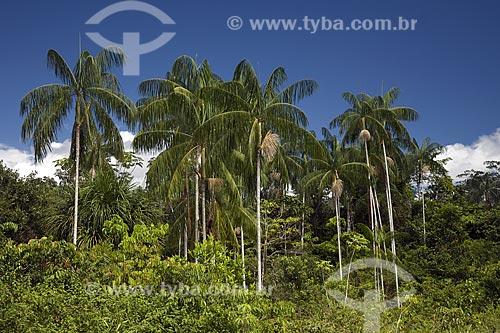Assunto: Açaizal (Euterpe precatoria) na beira da BR-174 (Manaus - Boa Vista) / Local: Amazonas (AM) - Brasil / Data: Junho de 2006
