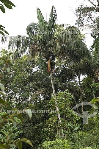 Assunto: Patauá (Oenocarpus bataua) na BR-174 (Manaus - Boa Vista) / Local: Amazonas (AM) - Brasil / Data: Junho de 2006