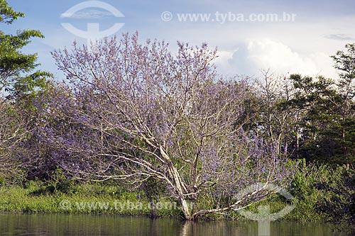 Assunto: Floresta amazônica de várzea com um tarumã florido, no lago de Terra Santa, perto de Terra Santa / Local: Pará (PA) - Brasil / Data: Junho de 2006