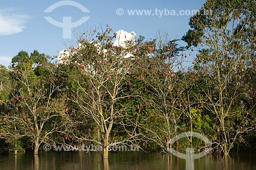 Mungubeira (Pseudobombax munguba) cheia de frutos na floresta amazônica de várzea perto de Terra Santa / Local: Pará (PA) -  Brasil / Data: Junho de 2006