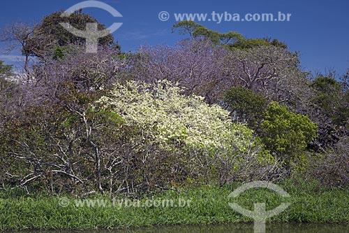 Assunto: Vegetação de várzea amazônica, com diversas árvores floridas, na época da cheia (julho), perto de Terra Santa / Local: Pará (PA) - Brasil / Data: Junho de 2006