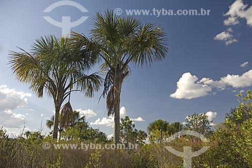 Assunto: Vereda de buritis (Mauritia flexuosa) em córrego da bacia do rio Tocantins, na Estação Ecológica de Águas Emendadas / Local: Planaltina - Distrito Federal (DF) - Brasil / Data: Junho de 2006