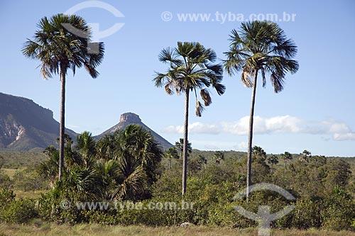 Assunto: Buritis (Mauritia flexuosa) no caminho para as dunas do Parque Estadual do Jalapão / Local: Tocantins (TO) - Brasil / Data: Junho de 2006