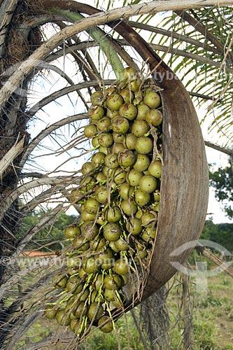 Assunto: Frutos da palmeira Attalea sp. no Parque Estadual do Jalapão / Local: Tocantins (TO) - Brasil / Data: Junho de 2006