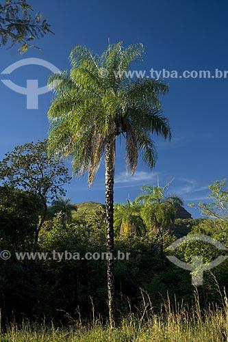 Assunto: Macaúba, ou bocaiúva (Acrocomia aculeata) perto de Monte do Carmo / Local: Palmas - Tocantins (TO) - Brasil / Data: Junho de 2006