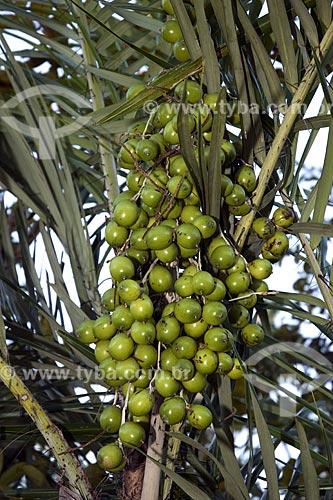 Assunto: Frutos de tucum (Bactris setosa), perto de Monte do Carmo / Local: Palmas - Tocantins (TO) - Brasil / Data: Junho de 2006