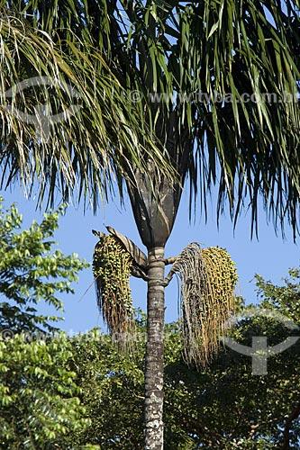 Assunto: Frutos da bacaba-de-leque (Oenocarpus distichus), na serra do Lajeado / Local: Tocantins (TO) - Brasil / Data: Junho de 2006