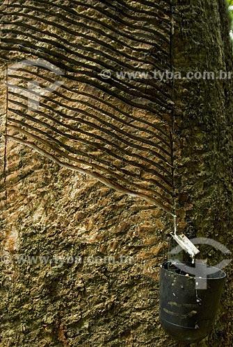 Asunto: Extração de látex na Reserva Chico Mendes - Seringal Cachoeira / Local: Xapuri - Acre - Brasil / Data: 06/2008