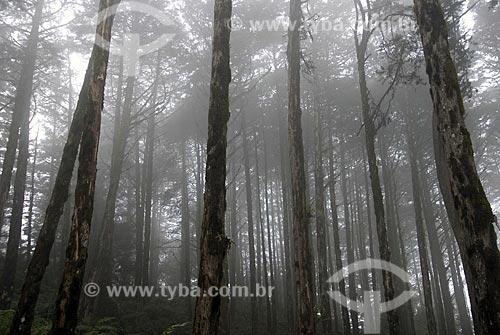 Assunto: Pinheiros com neblina / Local: Gramado - Rio Grande do Sul - Brasil / Data: 03/2008