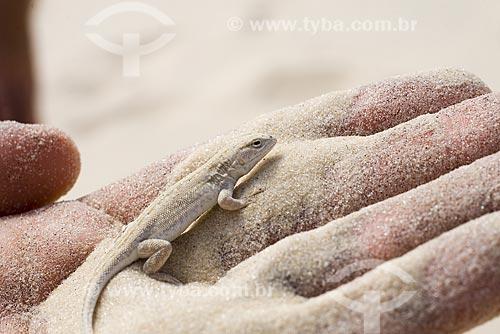 Assunto: Lagartixa da areia nas dunas da Praia da Joaquina / Local: Florianópolis - Santa Catarina (SC) - Brasil / Data: 03/05/2009