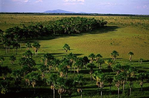 Assunto: Vista geral de Burutizeiros (Mauritia Flexuosa) e com o Rio Branco ao fundo / Local: Roraima (RR) - Brasil / Data: Março de 2009