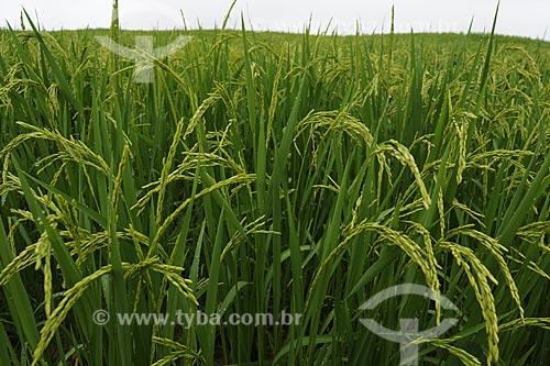 Assunto: Plantacao de arroz / Local: Fazenda Juparana -  Paragominas - Pará - Brasil / Data: 31/03/2009