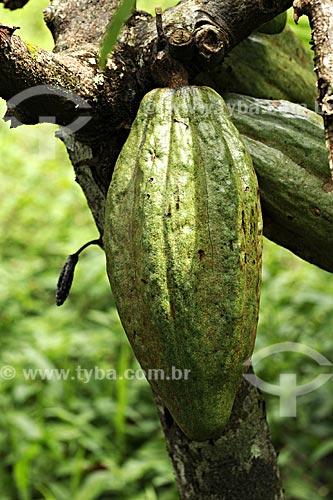 Assunto: Detalhe de cacau (Theobroma cacao) no pe (Cacaueiro) no pe (arvore) / Local: Tome-Acu - Pará - Brasil / Data: 01-04-2009