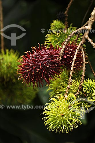 Assunto: Detalhe de Rambutan (Nephelium lappaceum) no pe (arvore)/ Local: Tome-Acu - Pará - Brasil / Data: 01-04-2009