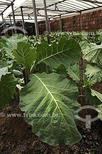 Assunto: Folhas de couve, plantacao de hortalicas em estufa / Local: Tome-Acu - Pará - Brasil / Data: 01-04-2009