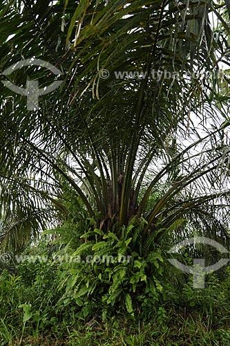 Assunto: Palmas de dende para producao de biocombustivel, plantacao  da MarBorges-BioPalma / Local: Moju - Pará - Brasil / Data: 02-04-2009