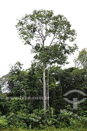 Assunto: Castanheira-do-Pará (Bertholletia excelsa) / Local: Moju - Pará - Brasil / Data: 02-04-2009
