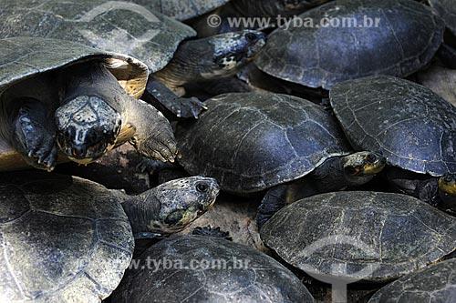 Assunto: Tartaruga-da-Amazonia (Podocnemis expansa) / Local: Museu Paraense e Parque Botânico Emílio Goeldi - Belém - Pará - Brasil / Data: 05-05-2009