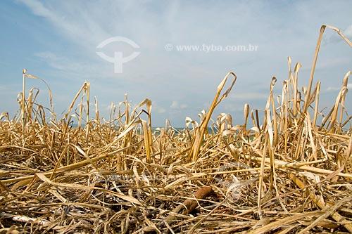 Assunto: Dissecação de aveia para plantio direto / Local: Xanxarê - Santa  Catarina (SC) / Data: Setembro de 2008
