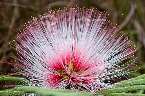 Assunto: Esponjinha (Calliandra dysantha) no Parque Nacional das Emas / Local: Parque Nacional das Emas - Mineiros - Goiás (GO) / Data: Outubro de 2008