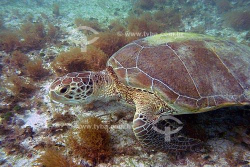 Assunto: Tartaruga-verde (Helonia mydas) em abrolhos / Local: Parque Nacional Marinho dos Abrolhos / Data: Julho de 2008
