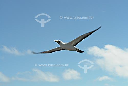 Assunto: Atobá (Sula dactylatra) voando / Local: Parque Nacional Marinho dos Abrolhos - Bahia (BA) - Brasil / Data: Julho de 2008