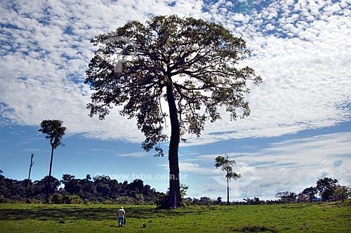 Assunto: Samaumeira ou Sumaumeira (Ceiba pentranda) - Sumaúma  / Local:  Roraima - Brasil  / Data: Janeiro de 2006