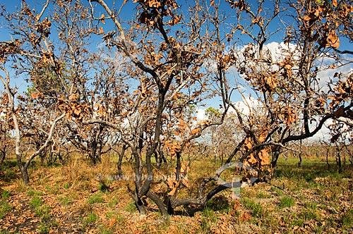 Assunto: Vegetação do Lavrado de Roraima queimada  / Local:  Estrada Boa Vista - Bonfim - Norte de Roraima - Brasil  / Data: Janeiro de 2006