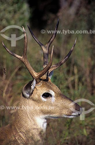 Assunto: Veado do Campo (Ozotoceros bezoarticus) / Local: Punta del Este - Uruguai / Data: 2003