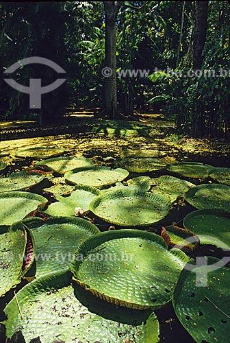 Assunto: Lago cheio de Vitória-Régia (Victoria amazonica) no museu Emílio Goeldi / Local: Belém - Pará (PA) / Data: 2000