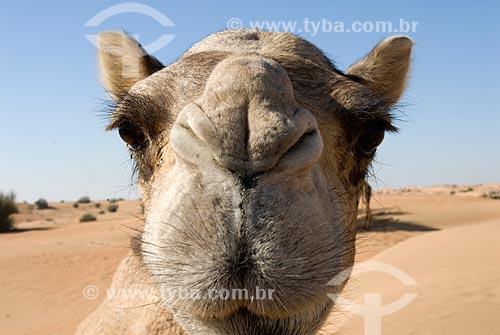 Assunto: Camelo (Camelus dromedarius) no Deserto de Dubai  / Local:  Deserto de Dubai - Emirados Árabes Unidos