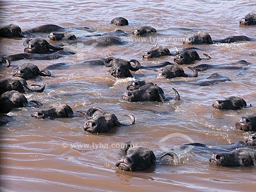 Assunto: Búfalos (Bubalus bubalis), atravessando um paraná do rio Amazonas, na Fazenda da EMBRAPA - o Campo Experimental do Baixo Amazonas  / Local:  Cacoal Grande, na várzea do rio Amazonas, em Santarém, Pará, Brasil  / Data: 08/2003