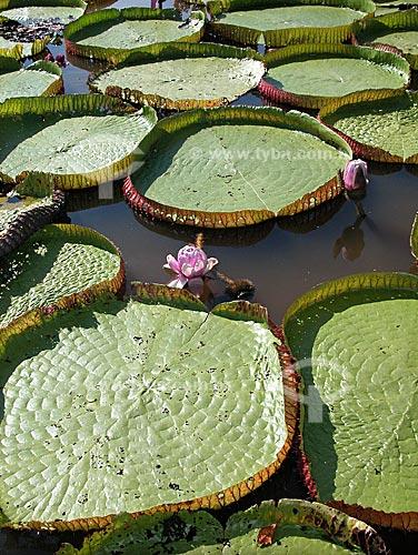 Assunto: Vitória-Régia (Victoria amazonica) em lago do rio Amazonas, perto de Santarém  / Local:  Pará (PA) - Brasil  / Data: 08/2003