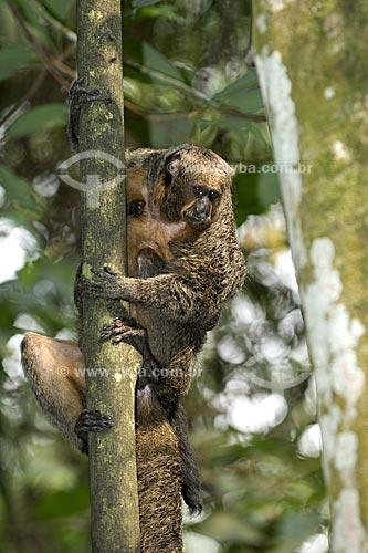 Assunto: Macaco-parauacu fêmea (Pithecia pithecia chrysocephala) na floresta amazônica do INPA  / Local:  Manaus - Amazonas (AM) - Brasil  / Data: 11/2007