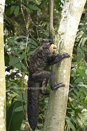 Assunto: Macaco-parauacu macho (Pithecia pithecia chrysocephala) na floresta amazônica do INPA  / Local:  Manaus - Amazonas (AM) - Brasil  / Data: 11/2007