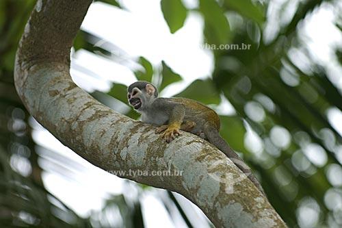 Assunto: Macaco-de-cheiro (Saimiri sciureus) na floresta amazônica  / Local:  Manaus - Amazonas (AM) - Brasil  / Data: 11/2007