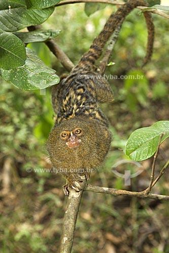 Assunto: Sagui-leãozinho (Cebuella pygmaea) na floresta amazônica  / Local:  Acre (AC) - Brasil  / Data: 11/2007