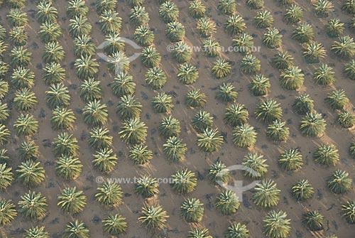 Assunto: Plantação de tamareiras (Phoenix dactylifera) no deserto / Local: Cidade de Al Ain -  Estado de Abu Dhabi - Emirados Árabes Unidos / Data: Janeiro 2009
