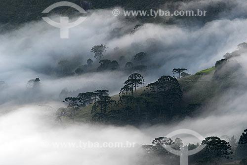 Assunto: Tapede de nuvens cobrindo árvores araucárias na Serra da Mantiqueira  / Local:  Fragaria - MG - Brasil  / Data: 05/2009
