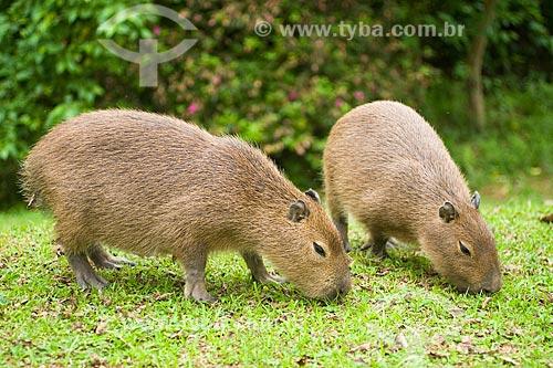 Assunto: Capivara (Hidrochoerus hidrochoeris), o maior roedor do mundo  / Local:  Blumenau - Santa Catarina (SC) - Brasil  / Data: 06/2009