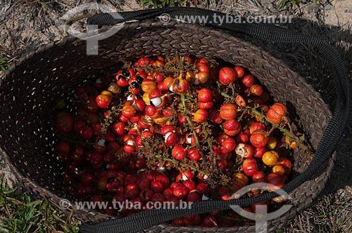 Assunto: Paneiro cheio de guaraná / Local: Parintins - Amazonas (AM) - Brasil / Data: 17/04/2010