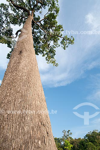 Assunto: Castanheira-do-Pará / Local: Xapuri - Acre (AC) - Brasil / Data: 15/07/2009