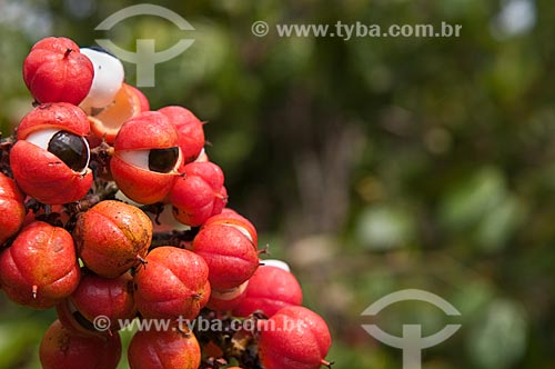 Assunto: Colheita do Guaraná ( Paullinia cupana ) / Local: Parintins - Amazonas (AM) - Brasil / Data: 15/10/2009