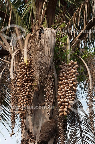 Assunto: Cacho do Babaçu / Local: Juverlânia - Tocantins (TO) - Brasil / Data: 20/11/2009