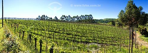 Assunto: Cultivo de uva em Ametista do Sul para produção de vinho  / Local:  Ametista do Sul - RS - Brasil  / Data: Setembro de 2009